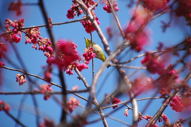 八重寒緋桜にやって来た目白