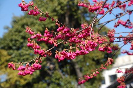 八重寒緋桜(ヤエカンヒザクラ)