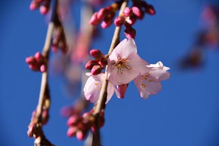 咲き始めた糸桜