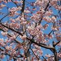 Photos: 大寒桜(オオカンザクラ)