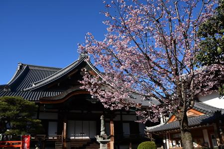 本堂と蜂須賀桜(ハチスカザクラ)