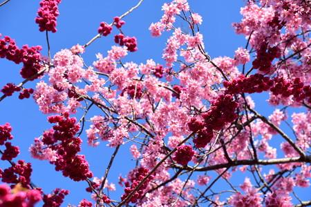 八重寒緋桜とオカメ