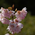 Photos: 椿寒桜(ツバキカンザクラ)
