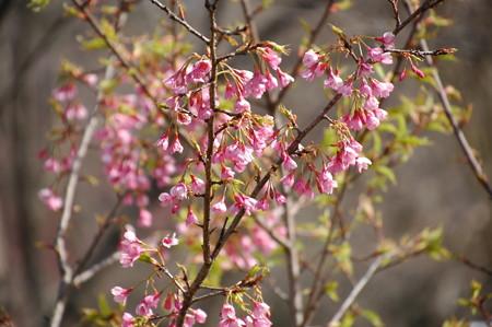 沖縄大宜味寒緋桜(オキナワオオギミカンヒザクラ)