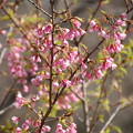 Photos: 沖縄大宜味寒緋桜(オキナワオオギミカンヒザクラ)