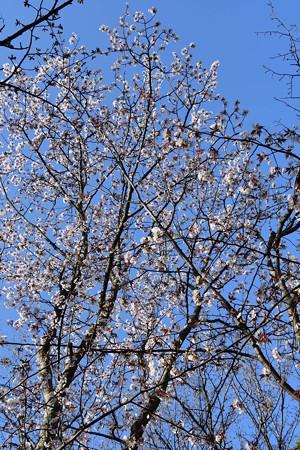 満開の山桜(ヤマザクラ)