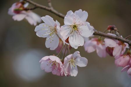 染井吉野×支那桜桃