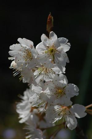 暖地桜桃(ダンチオウトウ)