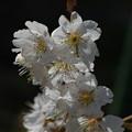 Photos: 暖地桜桃(ダンチオウトウ)