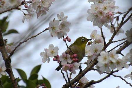 唐実桜を啄む目白