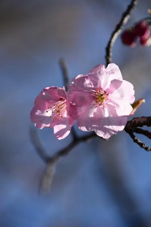 咲き始めた陽光(ヨウコウ)