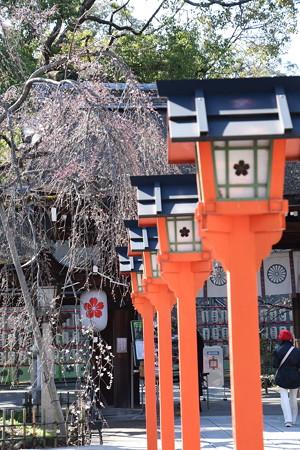 魁が咲き始めた平野神社