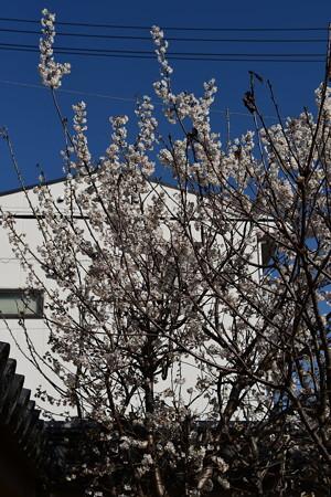 選佛寺の唐実桜(カラミザクラ)