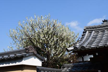 玉龍院の花桃