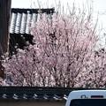 満開の桜~~~