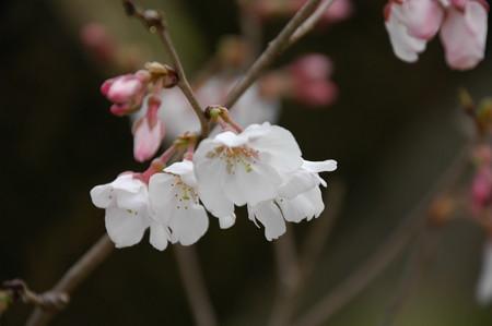 越の彼岸桜(コシノヒガンザクラ)