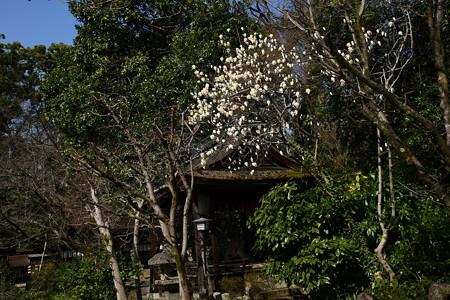 宗像神社の白木蓮