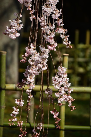 出水の糸桜