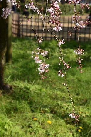 近衛邸跡の春