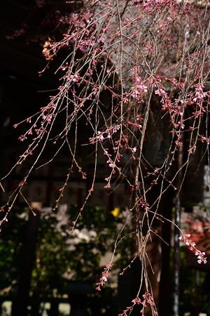 咲き始めた紅枝垂れ
