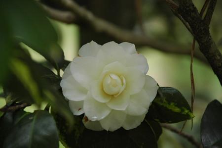 白菊(シラギク)