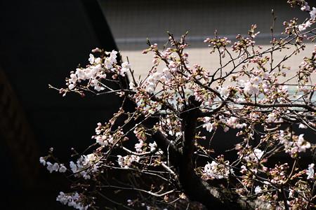京都ガーデンパレスの染井吉野