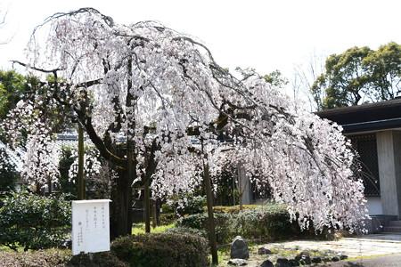 皇宮警察署の枝垂れ桜
