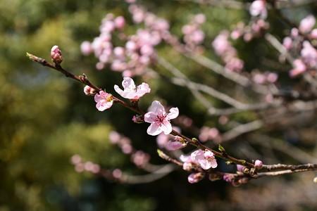 宗像神社の桃
