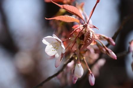 賀茂川沿いの山桜