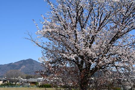 満開の山桜と比叡山