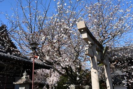 桜の本満寺