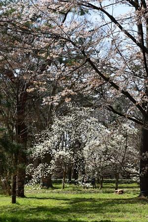 山桜と白木蓮
