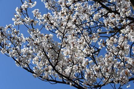 青空に咲く山桜