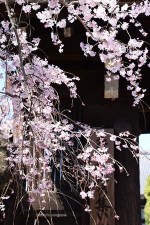 門前の枝垂れ桜