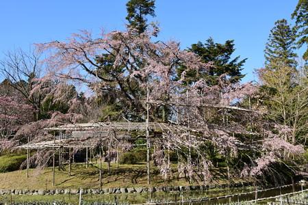 花菖蒲園脇の大枝垂れ