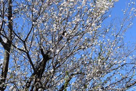 春の御会式桜(オエシキザクラ)