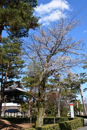 鐘楼と山桜