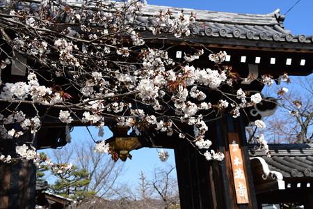 山門と山桜