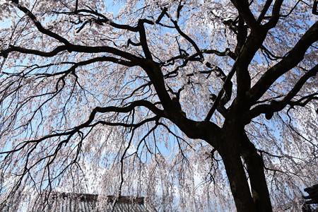 枝垂れ桜のアーチ