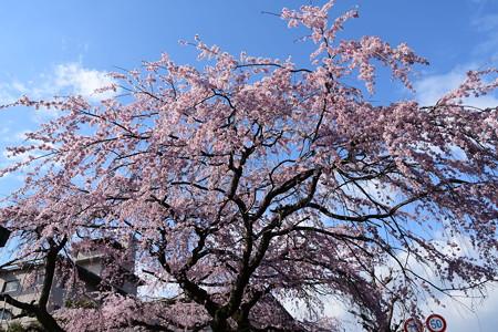 旧有栖川邸の枝垂れ桜