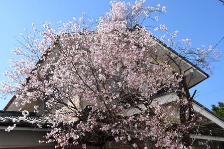 天理教教会の早咲き桜