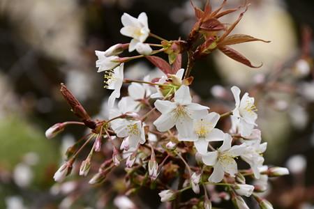 容保桜(カタモリザクラ)