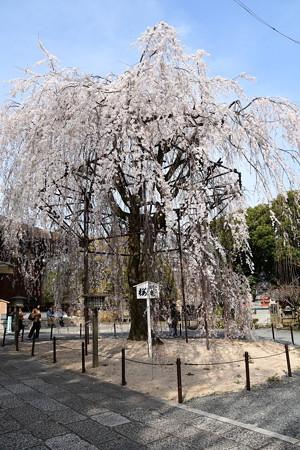 阿亀桜(オカメザクラ)