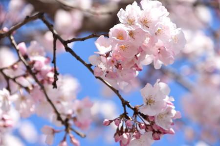 上賀茂診療所脇の桜