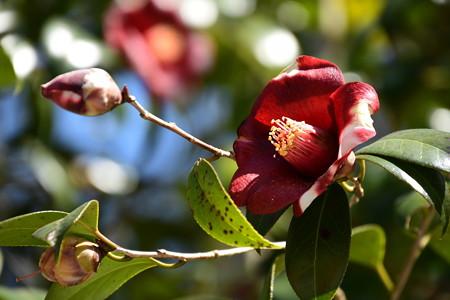 憩いの庭の椿