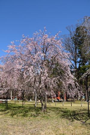 御所桜隣の枝垂れ桜