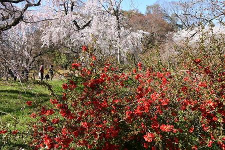 木瓜と枝垂れ桜の植物園
