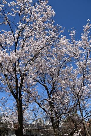 満開の越の彼岸桜(コシノヒガンザクラ)