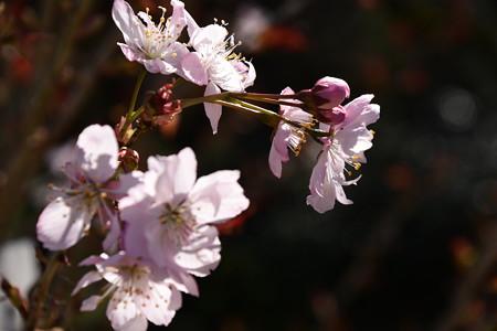 彬姫桜(アキヒメザクラ)