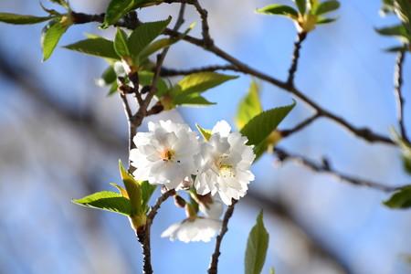 春の子福桜(コブクザクラ)